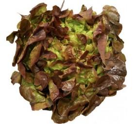 Plant laitues feuilles de chene