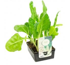 Plant poiree en barquette de 6