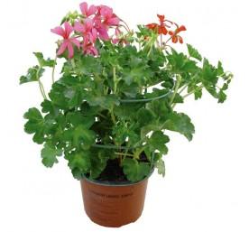 Geranium lierre simple en pot de 13/14cm