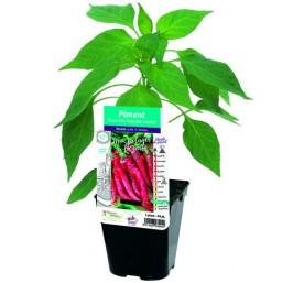 Plant piment en pot de 10,5cm