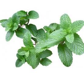Aromatique menthe en pot de 10,5cm