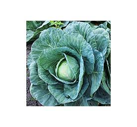 Plants de choux fourragers proteor barquette de 6