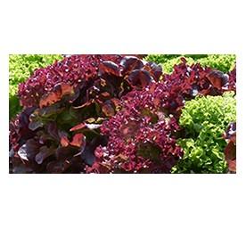 Plants de batavia rouge de grenoble en barquette de 12