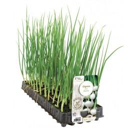 Plant oignon blanc en barquette de 50