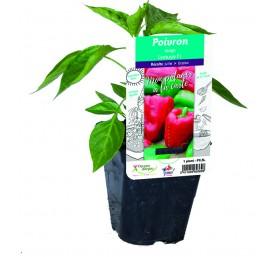 Plant poivron en pot de 10,5cm