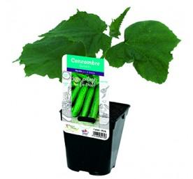 Plant concombre en pot de 10,5cm