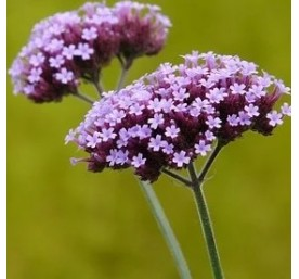Aromatique verveine officinale  en pot de 13cm