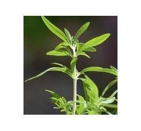 Aromatique sarriette en pot de 13cm