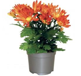 Chrysantheme margueritte mutifleurs en pot de 10,5cm