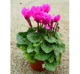 Cyclamen mini pot 10,5 cm