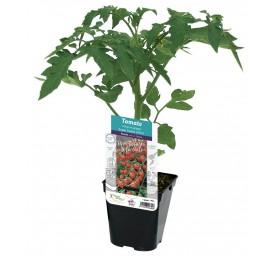 Plant tomate cerise super sweet 100 f1 en pot de 10,5cm