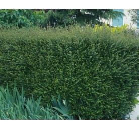 Lonicera nitida container 4 litres  rc varie