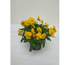 Viola cornuta pot 10,5 cm