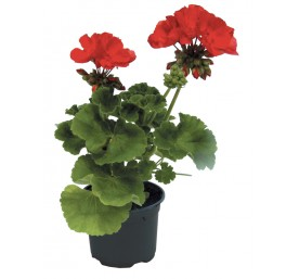 Geranium zonale en pot de 10,5cm