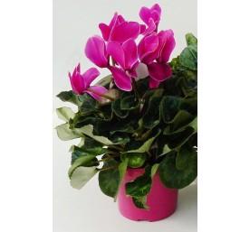 Cyclamen selection pot 10,5 cm
