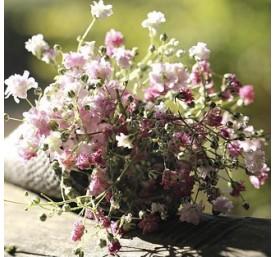 Dianthus en pot de 13 cm