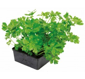 Plant celeri branche mix vert et jaune en barquette de 6