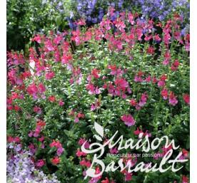 Salvia vivace varie en pot de 2 litres