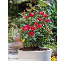 Rosier paysager varie en pot de 2 litres