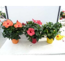 Hibiscus varie ton sur ton en pot de 17cm