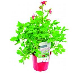Ancolie varie en pot de 2,5 litres
