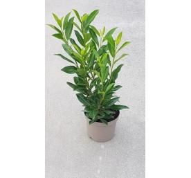 Prunus  laurocerasus caucasica container 4litres 5 60/80