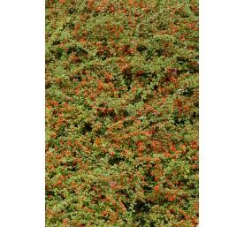 Cotoneaster rampant varies 30/40cm en pot de 2 litres