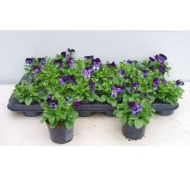 Viola cornuta 15cm en pot de 9cm
