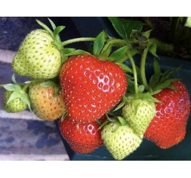 Fraises manon des fraises en barquette de 6 godets de 7cm