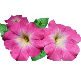Petunia en barquette de 6 godets de 7cm