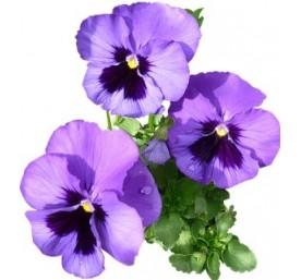 Pensees variees en plateau de 16 plants