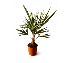 Trachycarpus fortunei 60/70cm en pot de 20cm