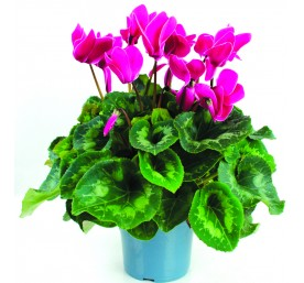 Cyclamen 25/30 pot 14cm couleur