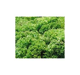 Plants de scaroles gcornet de loire en barquette de 12