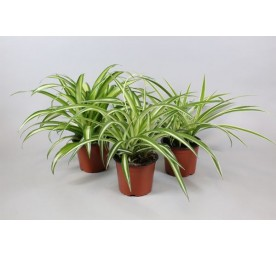 Chlorophytum en pot de 0,5 litre