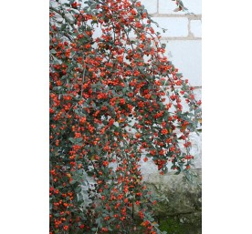 Cotoneaster franchetii en cpot de 2 litres