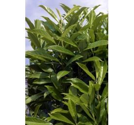 Prunus laurier caucas 40/50cm en pot de 2,5litres