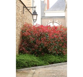 Photinia varies container 2 litres