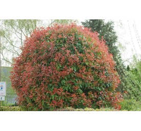Photinia fras.red robin  container 4,5 litres