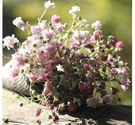 Dianthus varie en pot de 23cm