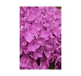 Hortensia rose primeur en pot de 4,5 litres