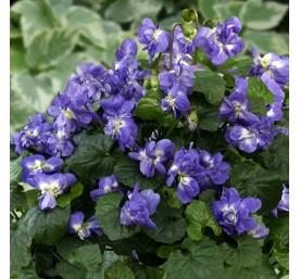 Viola odorata plena en pot de 2 litres