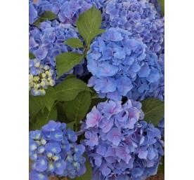 Hortensia bleu container 2 ,5 litres /6 branches