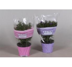 Aster d'automne varie en pot de 2 litres