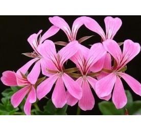 Pelargonium grand en pot de 14cm 1,2 litre
